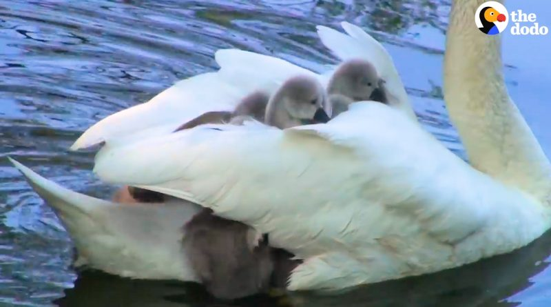 Mother Swan Carries Her 8 Babies Under Her Wings