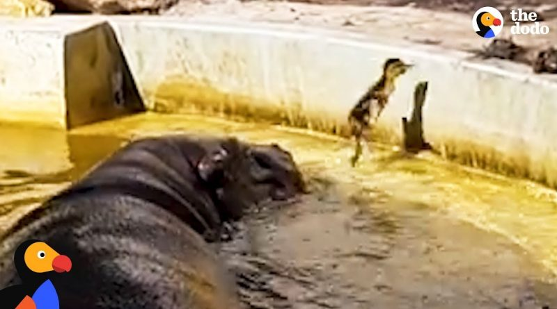 Hippos Assist Duckling In Getting Back To Mommy