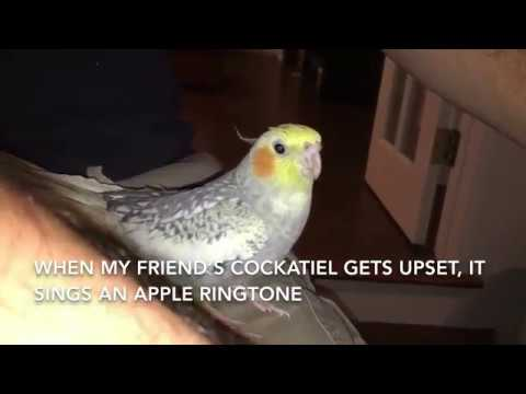 Cockatiel Sings Ringtone