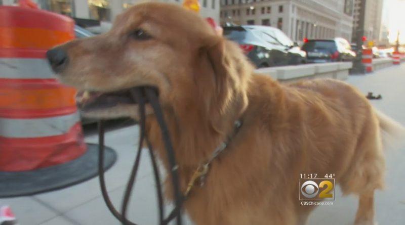Chicago Dog Walks Himself On A Leash