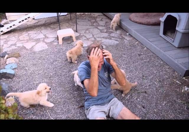 Golden Retriever Puppy Love Attack