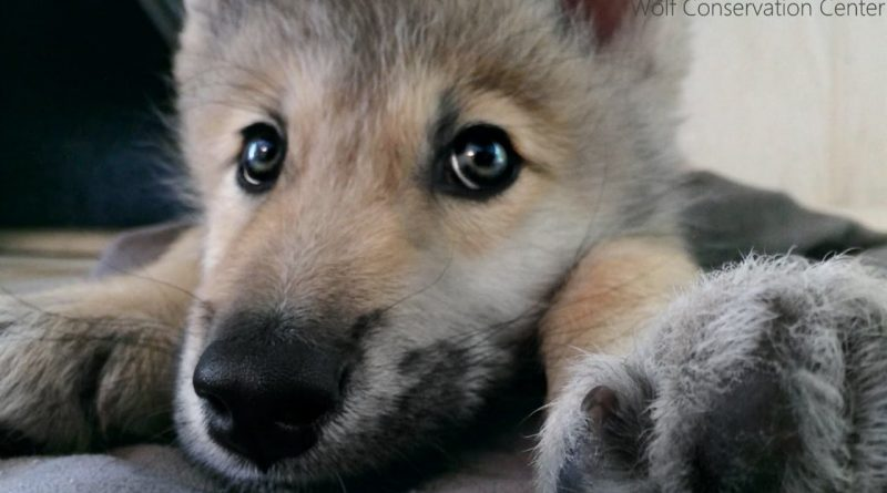 Wolf Puppy Hiccups And Squeaks