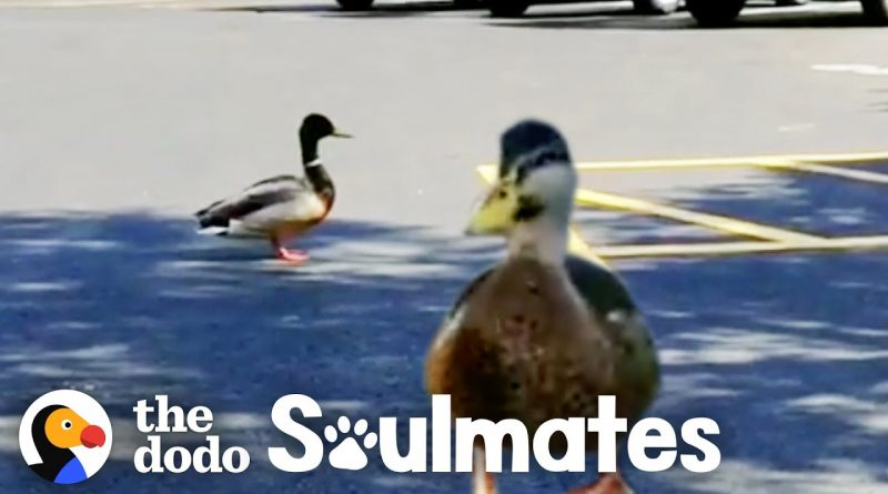Wild Duck Brings His Girlfriend To Visit Man Who Rescued Him