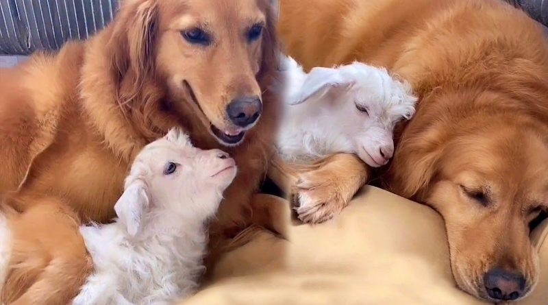 Golden Retriever And Baby Lamb Are Best Friends