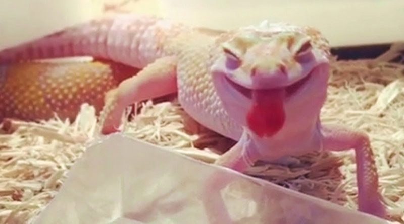 Have You Seen The Adorable Smile Of The Gecko?