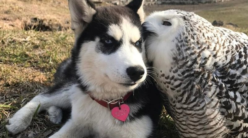 Owl And Husky Are Best Friends