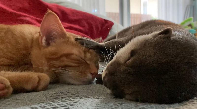 Otter And Kitty Cat Enjoy Napping Together 🐈 💤