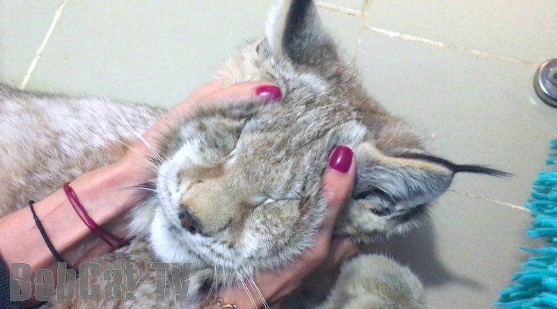 Siberian Lynx Purring