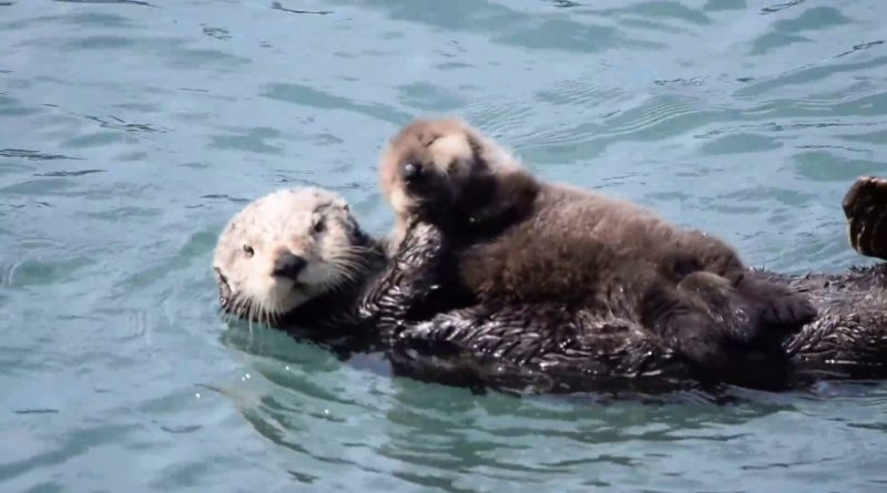 Mother Sea Otter Silences Her Crying Baby