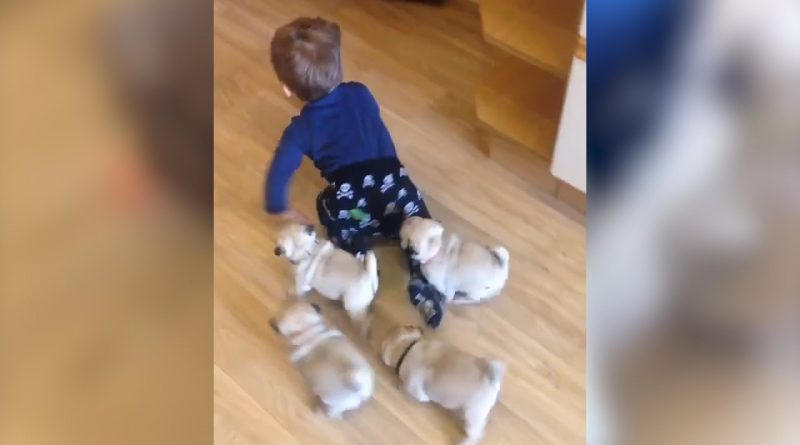 Litter Of Pugs Follows Baby Around