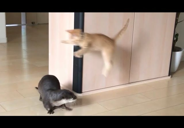 Otter And Kitten Playing Together 😸