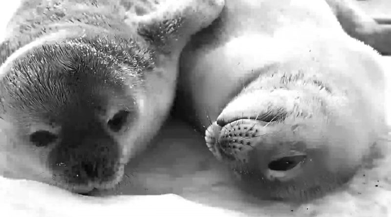 Weddell Seal Pups Being Adorable Best Friends