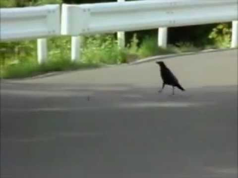 Genius Crows Find A Way To Crack Walnuts Safely In Traffic