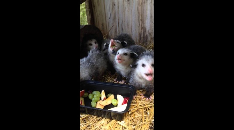 Adorable Baby Opossums Enjoying Fruit
