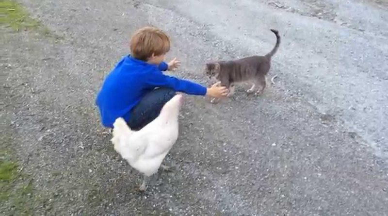 Chicken Does Not Want To Share Her Human With Kitty