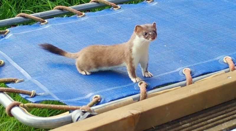 Stoat Kit Goes Wild On Small Trampoline