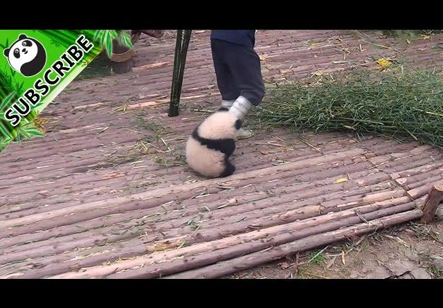 Baby Panda Wants To Play And Hug Nanny While They Work 🐼 ❤