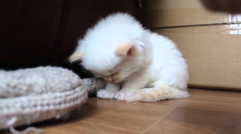 Tired Kitten Cannot Stay Awake