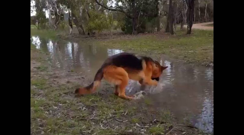 German Shepherd Loves Playing In Water 💧 🐕