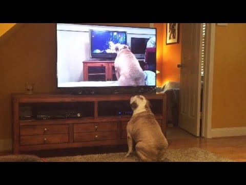 Bulldog Watches Video Of Herself Watching A Video