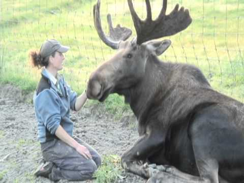 A Moose And His Human Best Friend