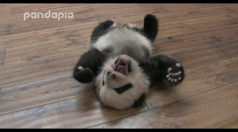 Tired Panda Cub Rolling Over 🐼