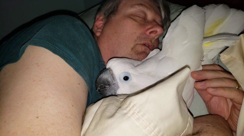 Cockatoo Wants To Cuddle His Sleeping Human