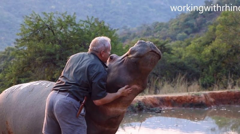 Hippo Is Like A Puppy And Loves Her Human Friend