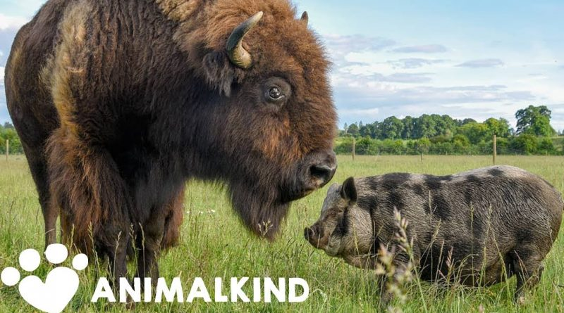 Giant Bison Becomes Caretaker For Animal Sanctuary