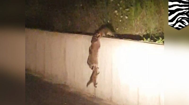 Raccoon Family Works Together To Climb A Wall