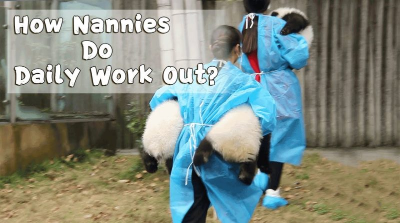 How Do Panda Nannies Exercise Each Day? 🐼
