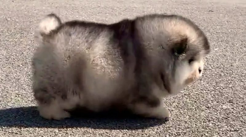 Super Fluffy And Chubby Puppies Having Fun!