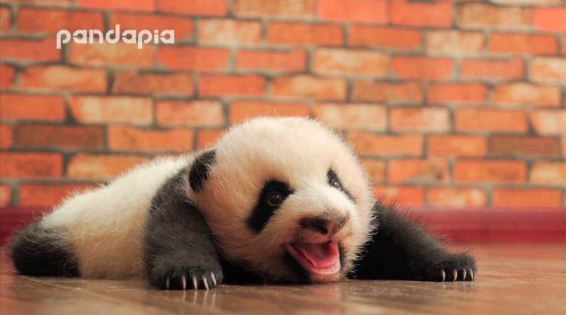 Baby Panda Makes Adorable Sounds 🐼
