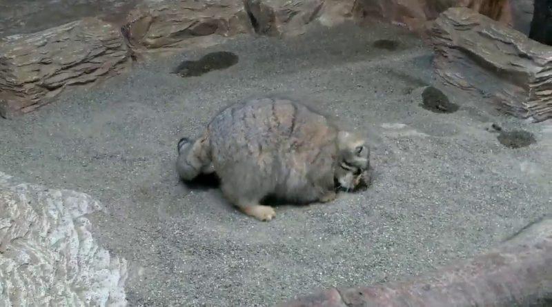 Super Fluffy Pallas Cat Rolls Over