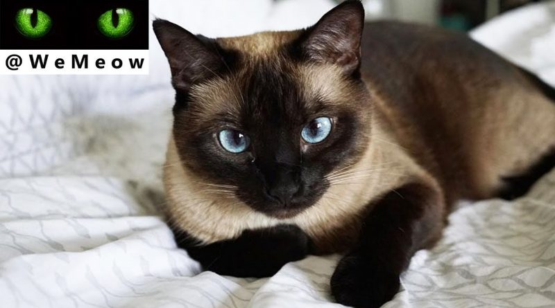 We Are Siamese - An Average Day Being A Siamese Cat