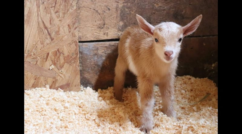 Hector The Newborn Goat Becomes Best Friends With Barn Kittens 🐐 😸