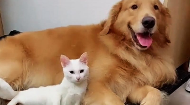 Kitty Protects His Golden Retriever Best Friend