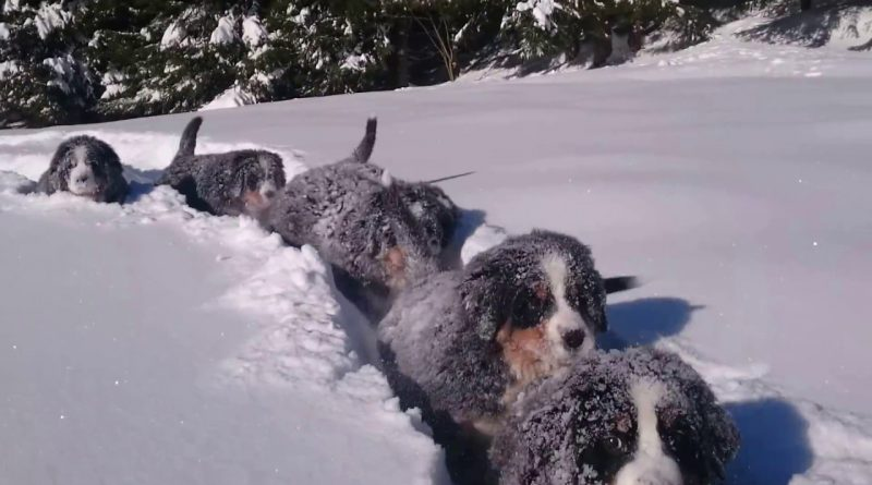 Bernese Mountain Dog Puppies Having Fun In The Snow
