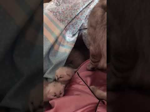 Mother Cat Hides Her 6 Babies Under A Blanket Each Morning
