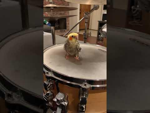 Cockatiel Gets Drum Lessons