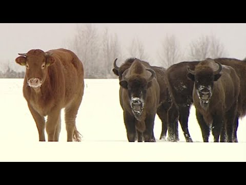 Cow Is Adopted By Herd Of Bison