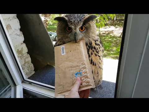 Owl Tries Her Hand At Being A Mail Delivery Person 🦉