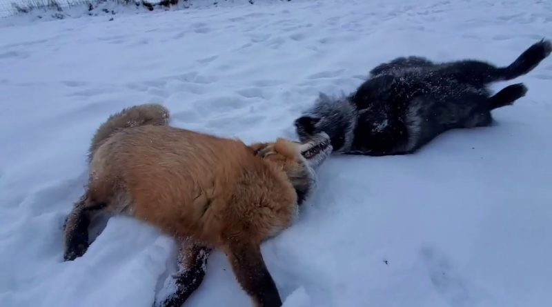 Rescued Foxes Give You New Year Greetings