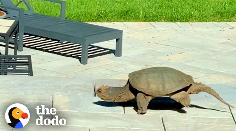 Snapping Turtle Stops By For A Visit And Leaves Surprises