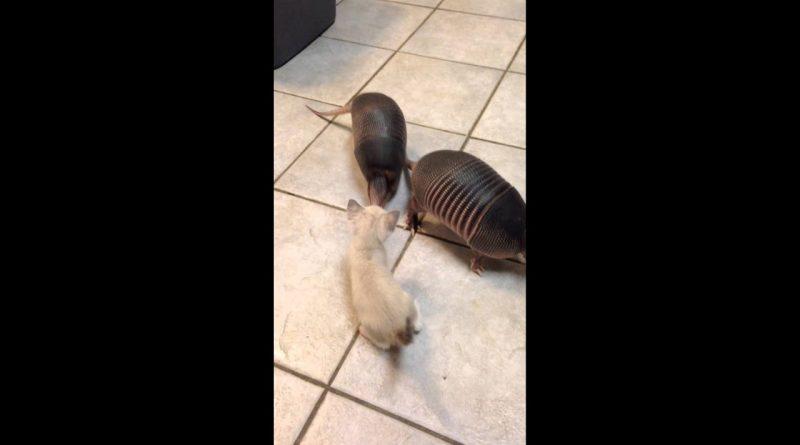 Three Baby Armadillos Meet A Kitten