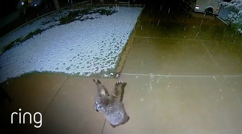 Even Bear Cubs Enjoy Trying To Catch Snow 🐻 ❄