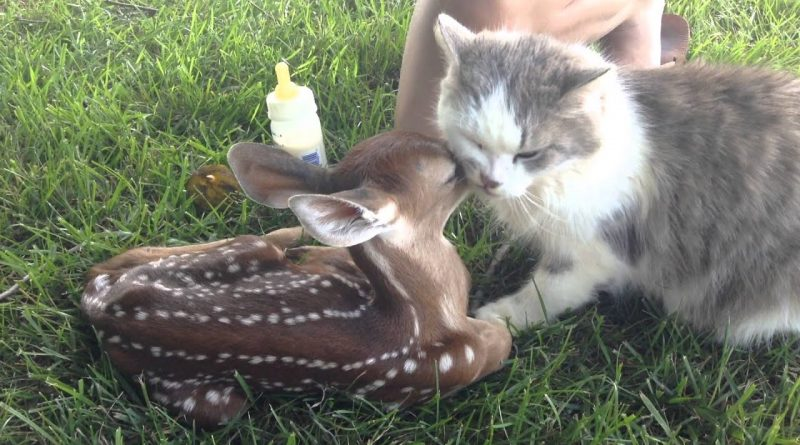 Fawn And Cat Become Best Buddies