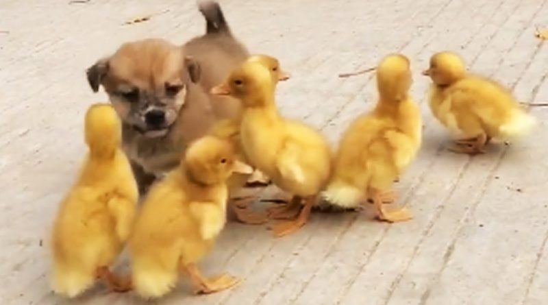 Cute Puppy Becomes Member Of A Duck Family 🐶 🐥