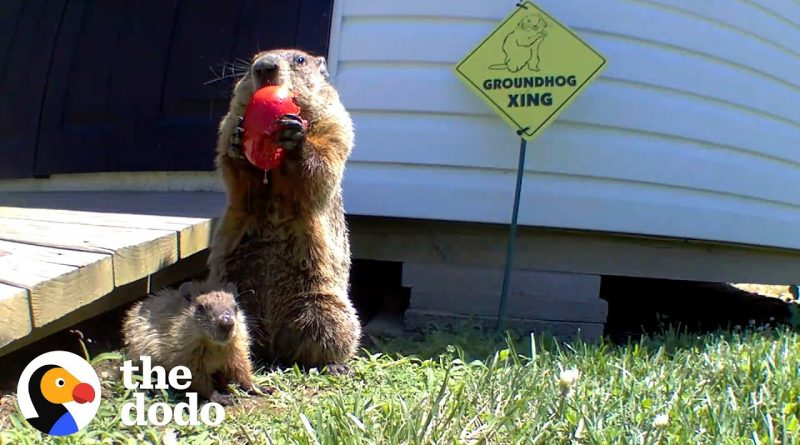 Man Builds Vegetable Garden For Groundhog Family