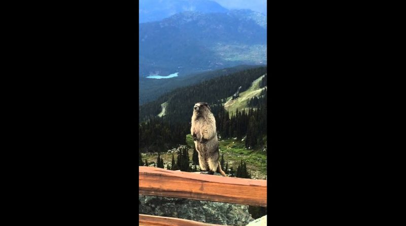 The Sound Of A Marmot Is Very Unique 😆